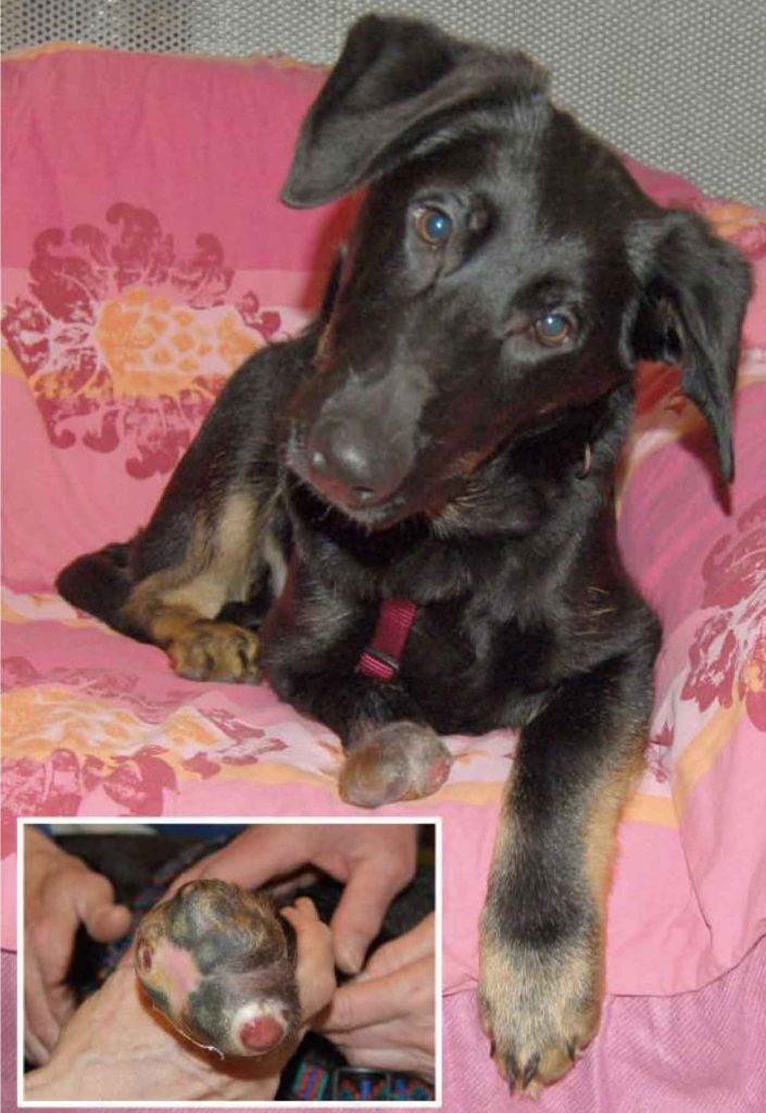 Nicolausi, ein fünf Monate alter Dobermann-Mischling, hat ein verkürztes Bein und eine nässende Wunde. Die Tierhilfe Franken sucht für ihn dringend einen Pflegeplatz. Die Kosten für die weitere Versorgung des Hundes würde der Verein übernehmen. Foto: privat.